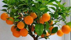 Bonsai Meyve Ağaçları