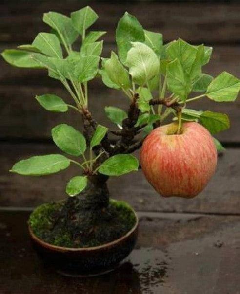bonsai-meyve-agaclari-2