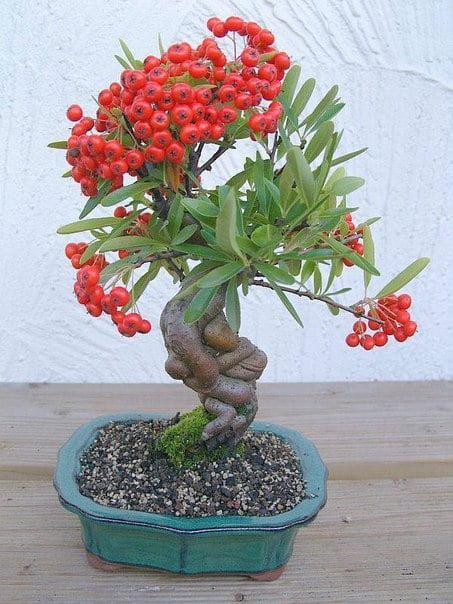 bonsai-meyve-agaclari-4
