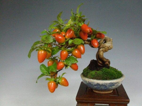 bonsai-meyve-agaclari-6