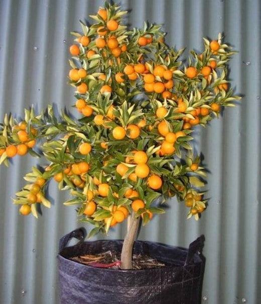 bonsai-meyve-agaclari-7