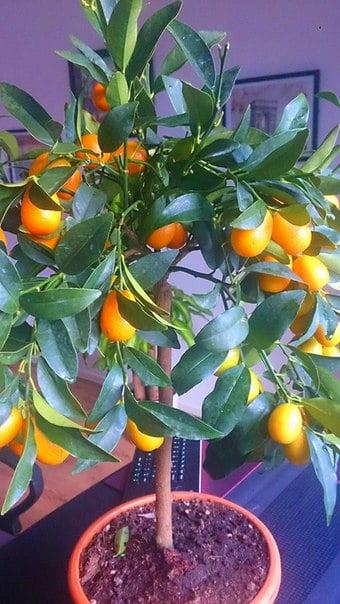 bonsai-meyve-agaclari-9